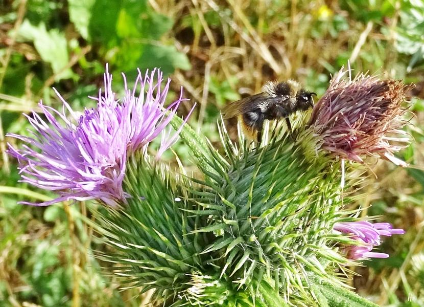 2018-07-29 Lüchow, Garten, Gewöhnliche Kratzdistel (Cirsium vulgare) + Bunte oder Wald-Hummel (Bombus sylvarum)
